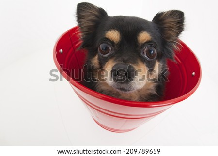 The Chihuahua In The Bucket