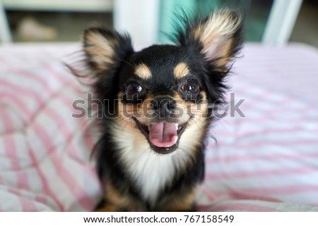The Chihuahua is sitting and smiles happily.