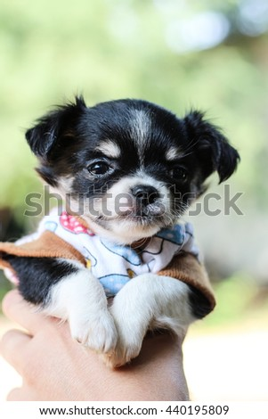 The chihuahua puppy