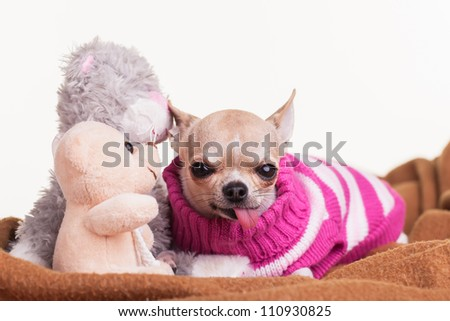 The chihuahua with her teddies and blankie ready for bed. - stock photo
