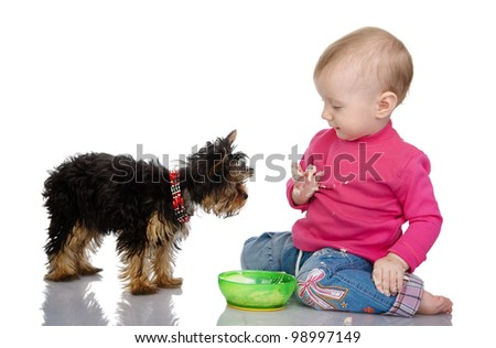 The child feeds a yorkshire terrier's. isolated on white background