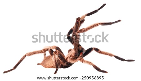 The Chilobrachys Vietnam Blue tarantula on white - stock photo