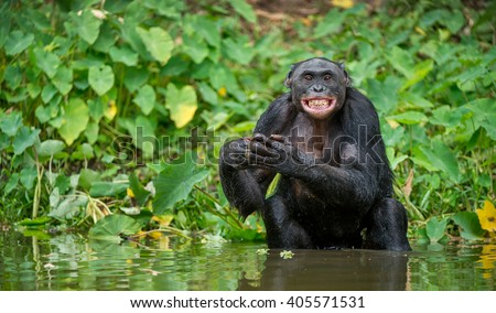 The chimpanzee Bonobo bathes with pleasure and smiles. The bonobo ( Pan paniscus), formerly called the pygmy chimpanzee and less often, the dwarf or gracile chimpanzee. - stock photo