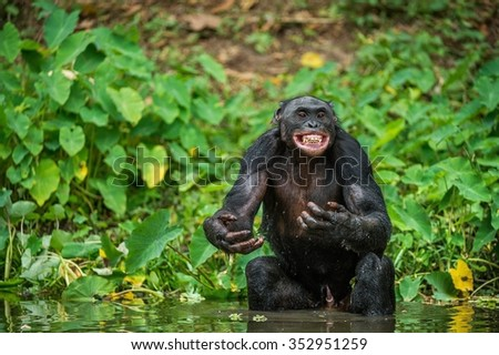 The chimpanzee Bonobo in the water with pleasure and smiles. At a short distance, close up. The Bonobo ( Pan paniscus), called the pygmy chimpanzee. Democratic Republic of Congo. Africa