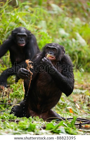 The chimpanzee bonobo standing in water eats roots of plants.