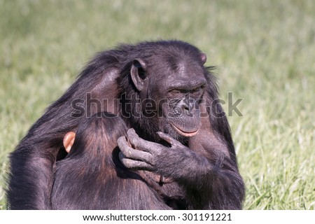 The chimpanzee love between mother and child. - stock photo