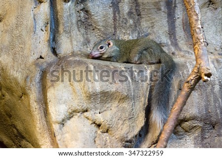 the chinchilla with a fluffy tail sat down on stones - stock photo