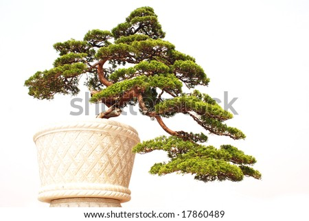 The Chinese bonsai of cypress tree in a ceramic pot.
