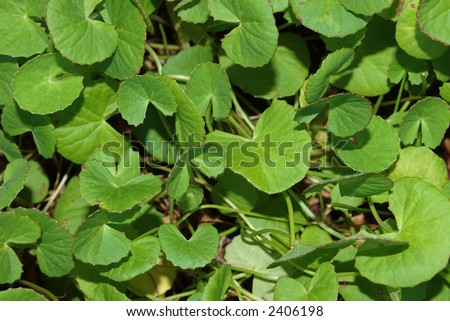"The Chinese medicinal herb ""Gotu kola"" (Centella asiatica), arthritis herb - stock photo"