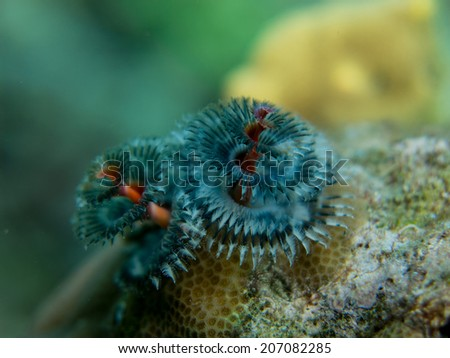 The Christmas tree. Worm. Beautoful flower of the sea. Indonesia, Togeans. - stock photo