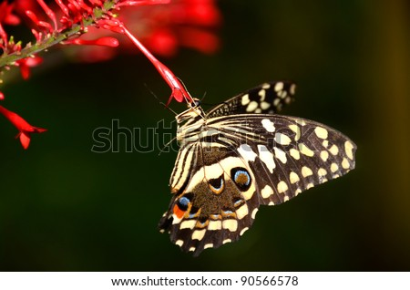 The Citrus Swallowtail butterfly (papilio, demodocus) from sub-Sahara Africa - stock photo
