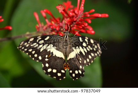 the citrus swallowtail butterfly (papilio demodocus) from sub-Saharan Africa - stock photo