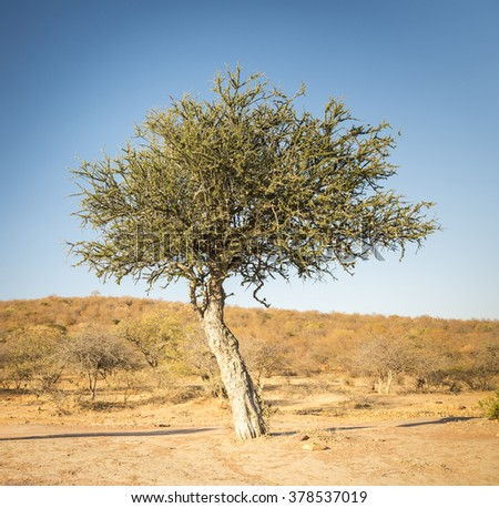The classic African Acacia tree, a symbol of Africa, grows wild in the dry Botswana landscape