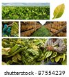 The classic method for growing and drying tobacco - stock photo