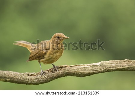 The Clay-colored Thrush or Yiguirro is the national bird of Costa Rica. - stock photo