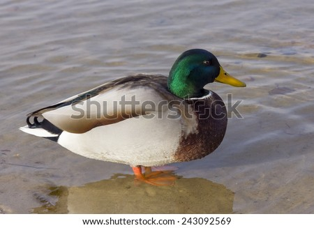 The clever duck thinks of life standing in cold water. Closeup nature photo - stock photo