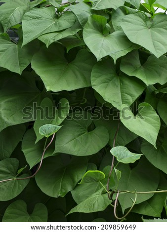 The climbing vines of a Morning Glory plant. - stock photo
