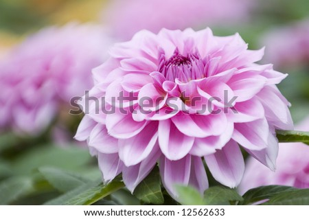 The close shot of bright and beautiful pink dahlia flowers - stock photo