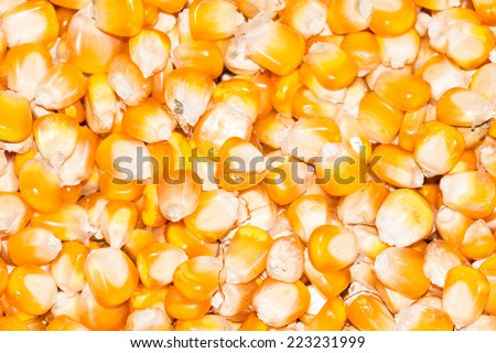 the close up group of the beautiful yellow corn seeds - stock photo