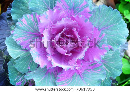 the close up of cabbage flower - stock photo