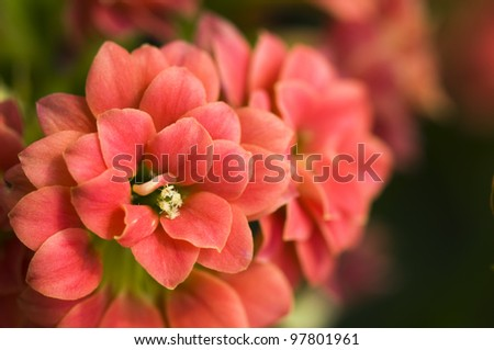 The close up of Kalanchoe bush, flowers - stock photo