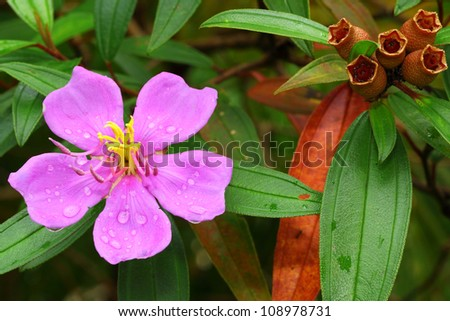 TỨ TUYỆT HOA  - Page 15 Stock-photo-the-close-up-of-melastoma-villosum-after-the-rain-108978731