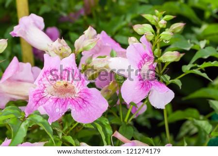 The close up of Zimbabwe creeper or  Podranea ricasoliana (Tanfani) Sprague in the garden - stock photo