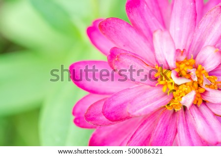 The close up of Zinnia violacea the little beautiful flower.