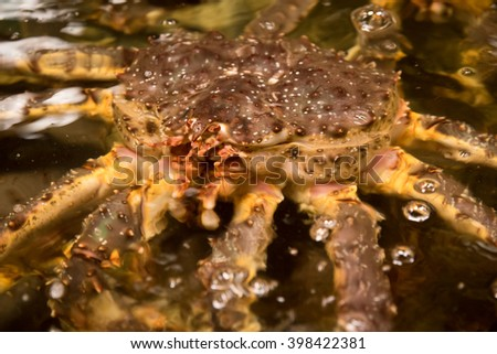 The close up photo of lively Alaskan King Crabs in a pond at fish market.