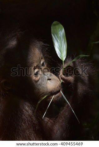 The close up portrait of Baby orangutan (Pongo pygmaeus) with a green leaf on the dark background . Borneo, Indonesia. - stock photo