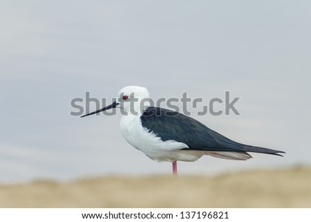 The close up portrait of Black-winged Stilt bird (Himantopus himantopus ) - stock photo