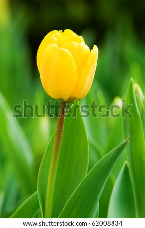 The close up view of a single yellow tulip over green background - stock photo