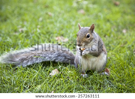 The close view of a squirrel with a nut in Boston Common park. - stock photo