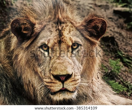 The closeup portrait of young East African Lion - stock photo