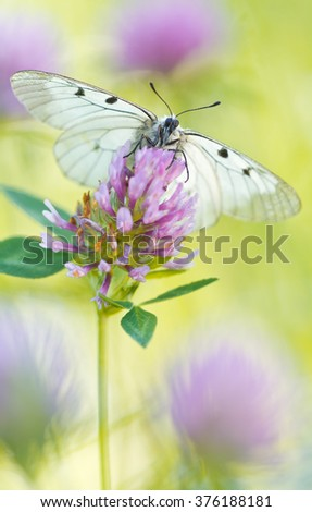The Clouded Apollo (Parnassius mnemosyne) on a flowers - stock photo