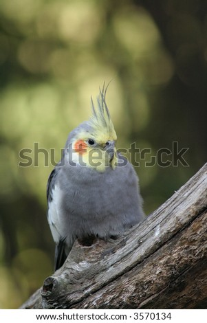 The Cockatiel (Nymphicus Hollandicus) is a native of Australia. - stock photo