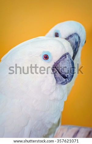 The Cockatoo Parrot over the Yellow Background - stock photo
