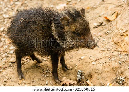 The collared peccary young (Pecari tajacu) is a species of mammal in the family Tayassuidae