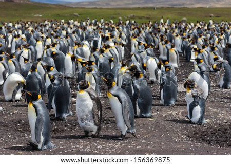The colony of king penguins  (Aptenodytes patagonicus) in the Falkland Islands - stock photo