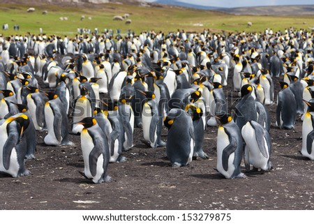 The colony of king penguins (Aptenodytes patagonicus). Volunteer Point, Falkland Islands - stock photo