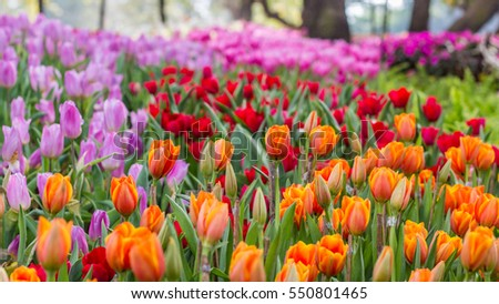 The color yellow, red, purple and tulip are symbolic of luxury famous in Thailand