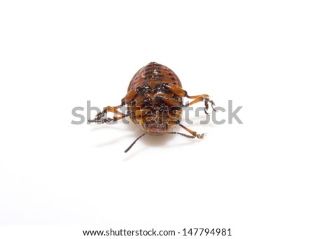 The Colorado potato beetle (Leptinotarsa decemlineata) is a serious pest of potatoes, tomatoes and eggplants. Insecticides are currently the main method of beetle control. Close up with shallow DOF