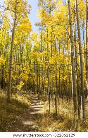 The Colorado Trail winds through a colorful Aspen grove in Autumn color in the Kenosha Pass. - stock photo