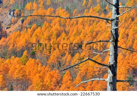 The colored leaves of the Japanese larch of the hillside(HDR) - stock photo