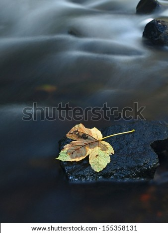 The colorful broken leaf from maple tree on basalt stones in blurred water of mountain river.  - stock photo