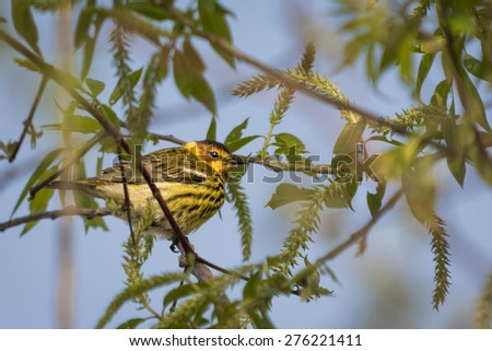 The colorful Cape May Warbler at Magee Marsh Ohio. - stock photo