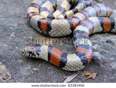 The colorful Central Plains Milk Snake, Lampropeltis triangulum gentilis, a coral snake mimic - stock photo