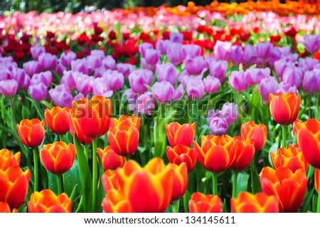The colorful tulips field in a park.