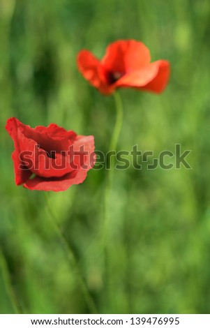 The colorful vintage corn poppy are opening in spring - stock photo
