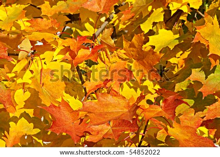 The colourful Autumn Background is made of maple leaves.